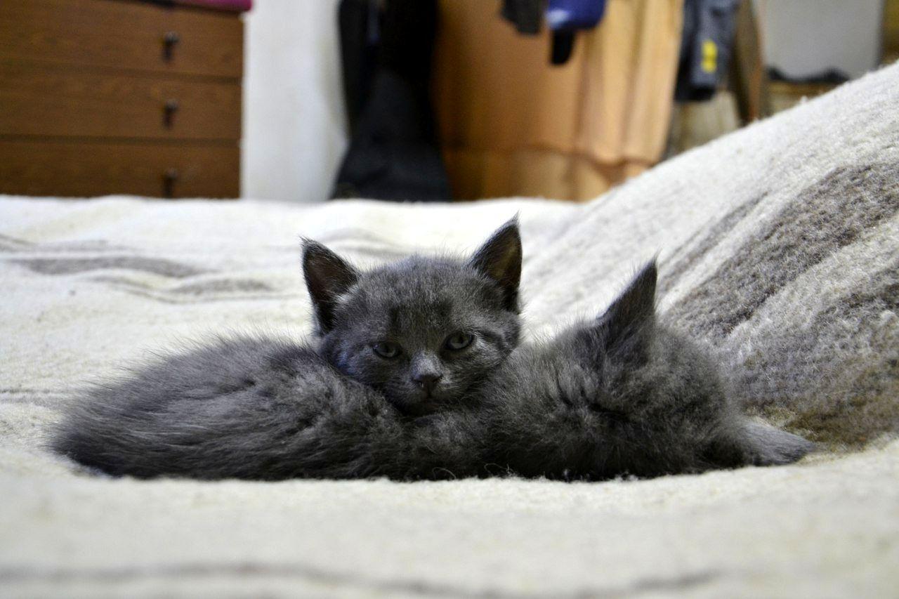 Елизавета Барт. Кошки благородных пород (5).jpg