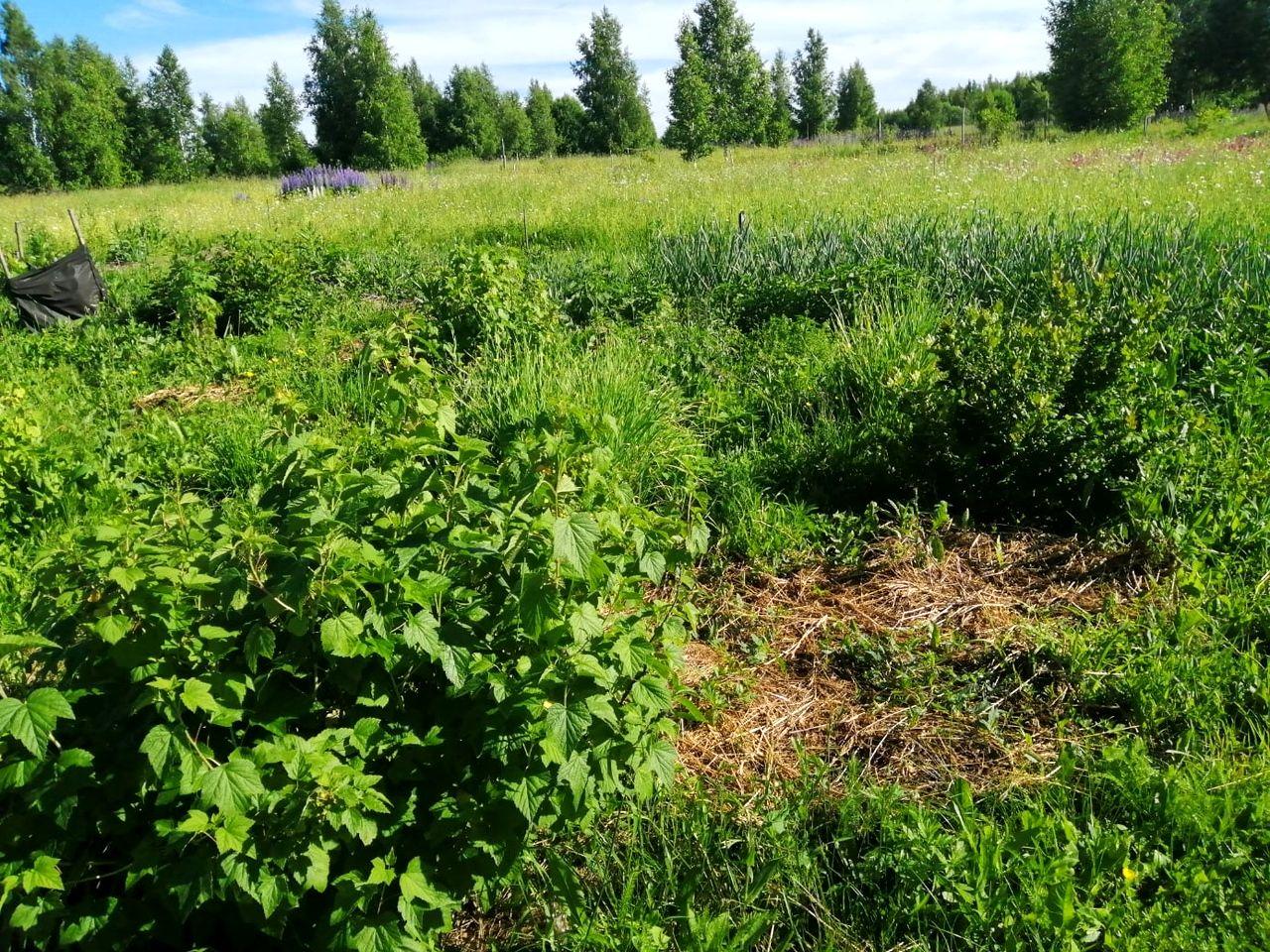 Ягодные кустарники – опыт из РП Лебёдушки (4).jpg