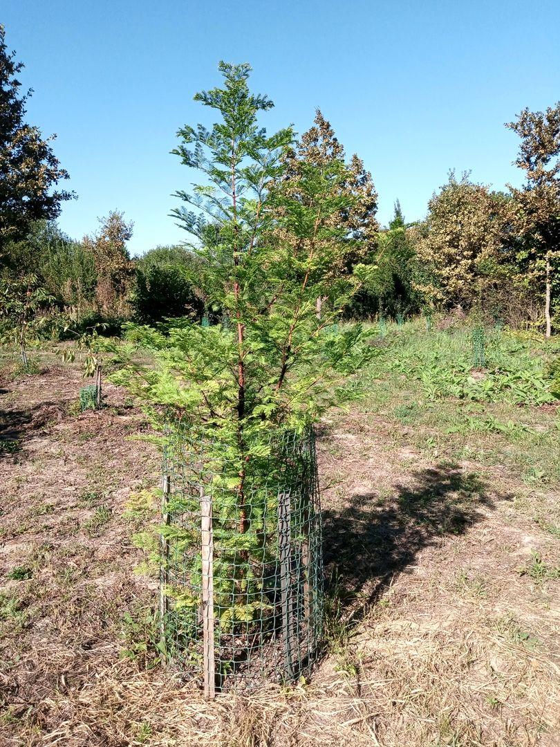 Метасеквойя родовое дерево Алоры (1).jpg