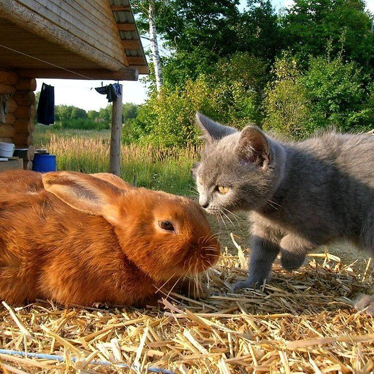 Елизавета Барт. Кошки благородных пород (1).jpg