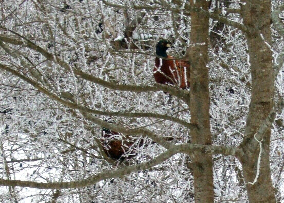 Живут на просторах Сказочного Края фазаны (3).jpg