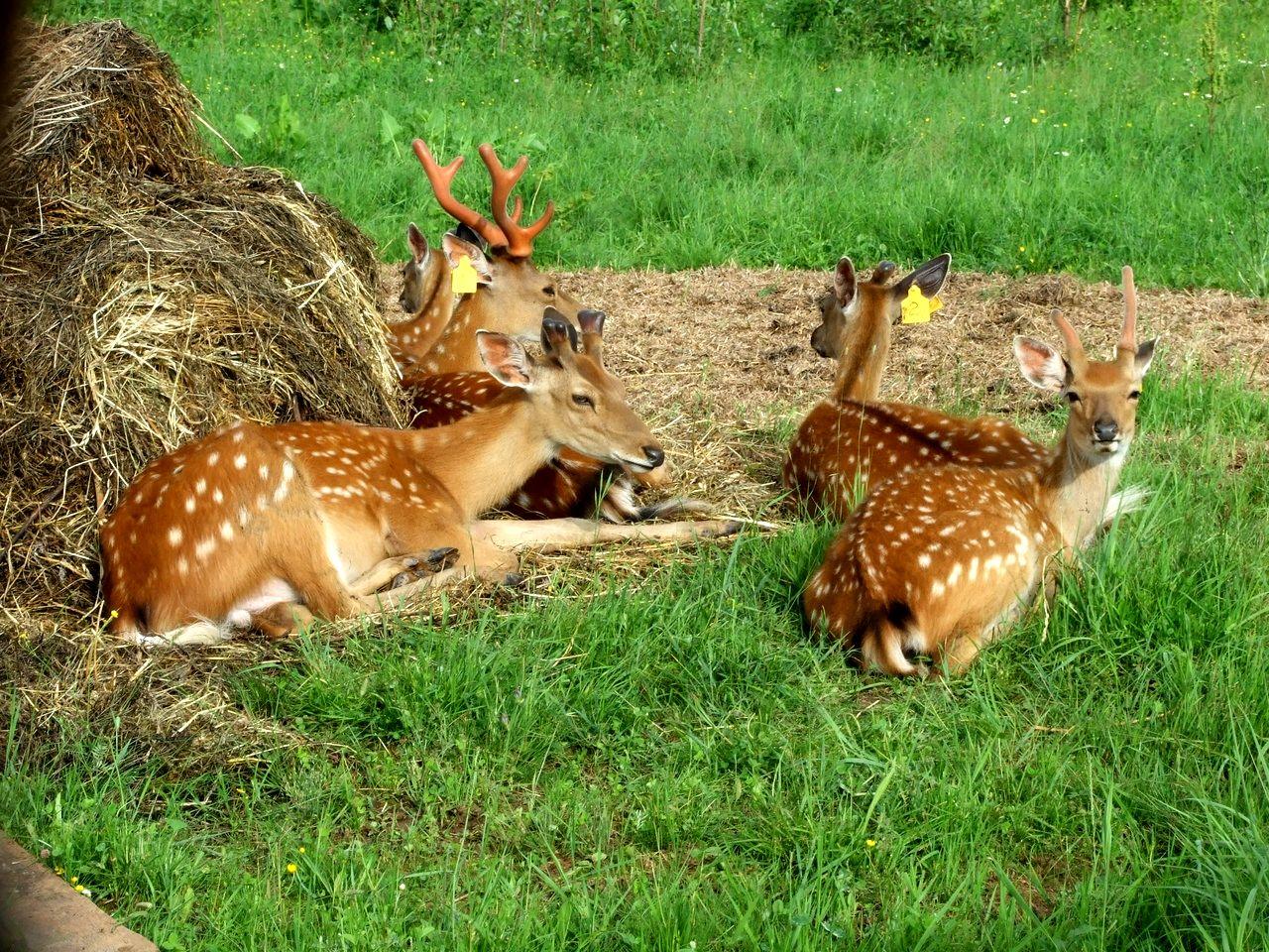 Пятнистые олени в поселении Добрянка (1).jpg