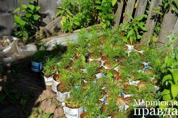 Пенсионер из Марий Эл выращивает в своём огороде рощу кедров.jpg