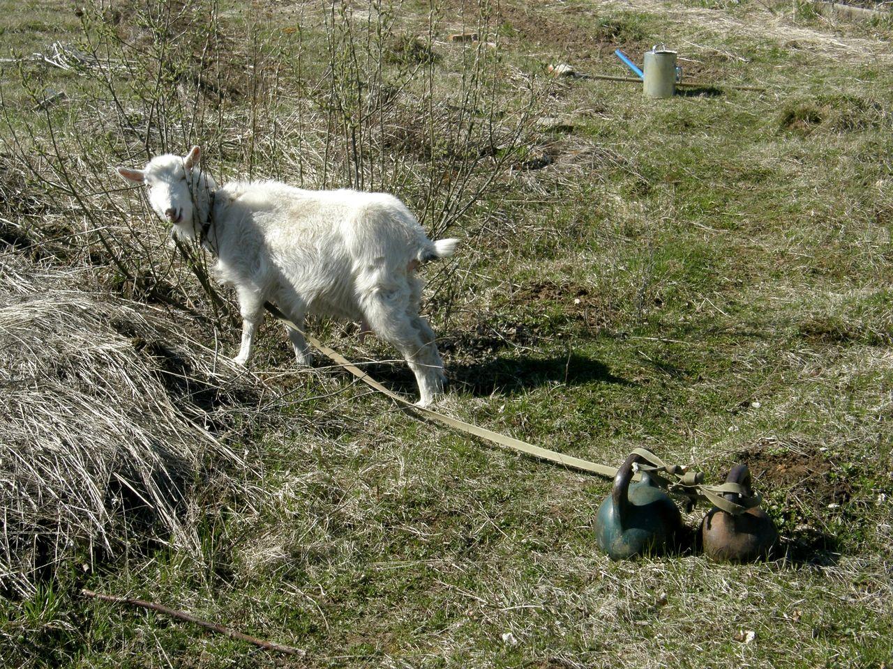 Козы в Родовом Поместье (5).jpg