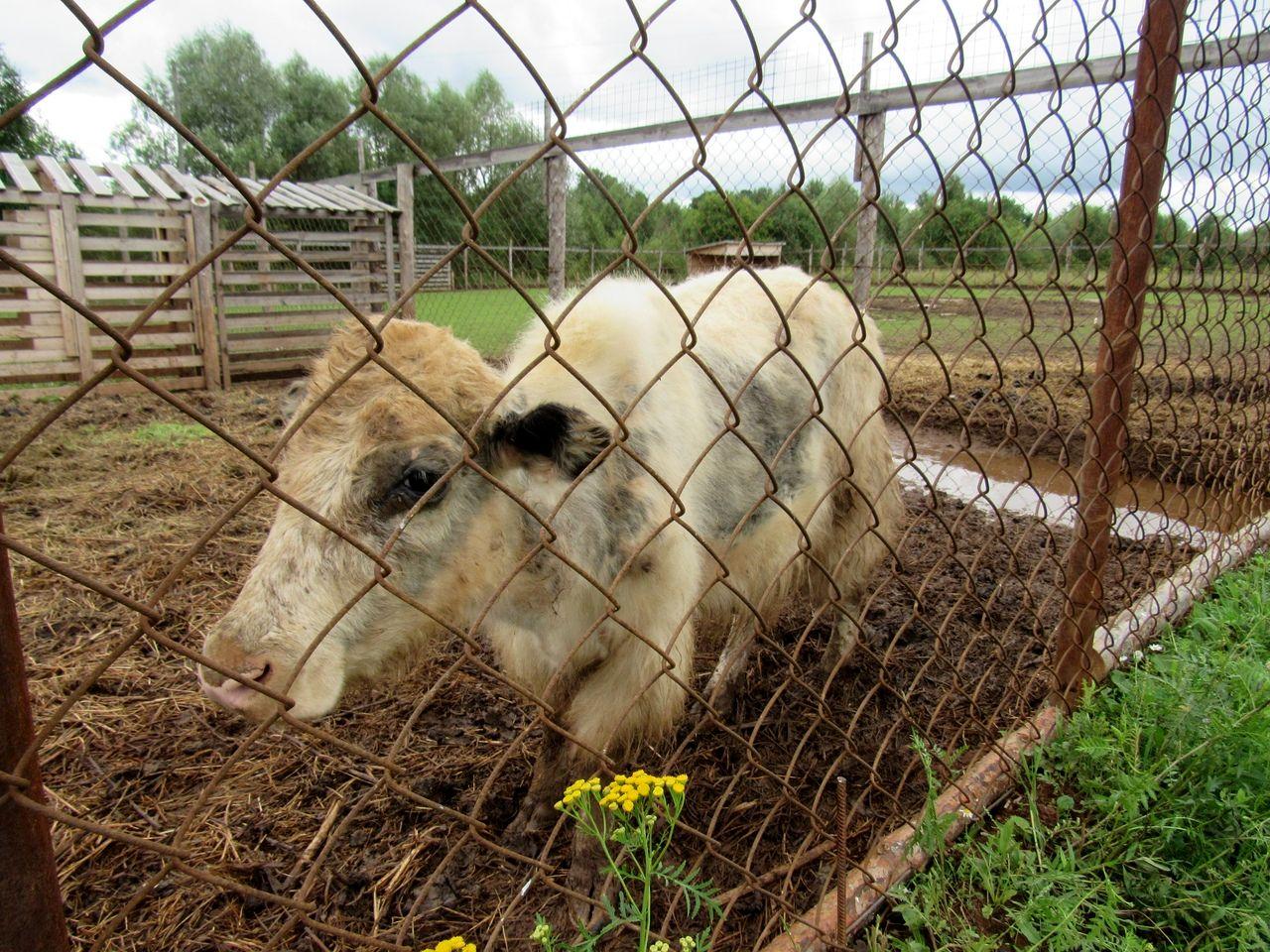 Пятнистые олени в поселении Добрянка (5).jpg