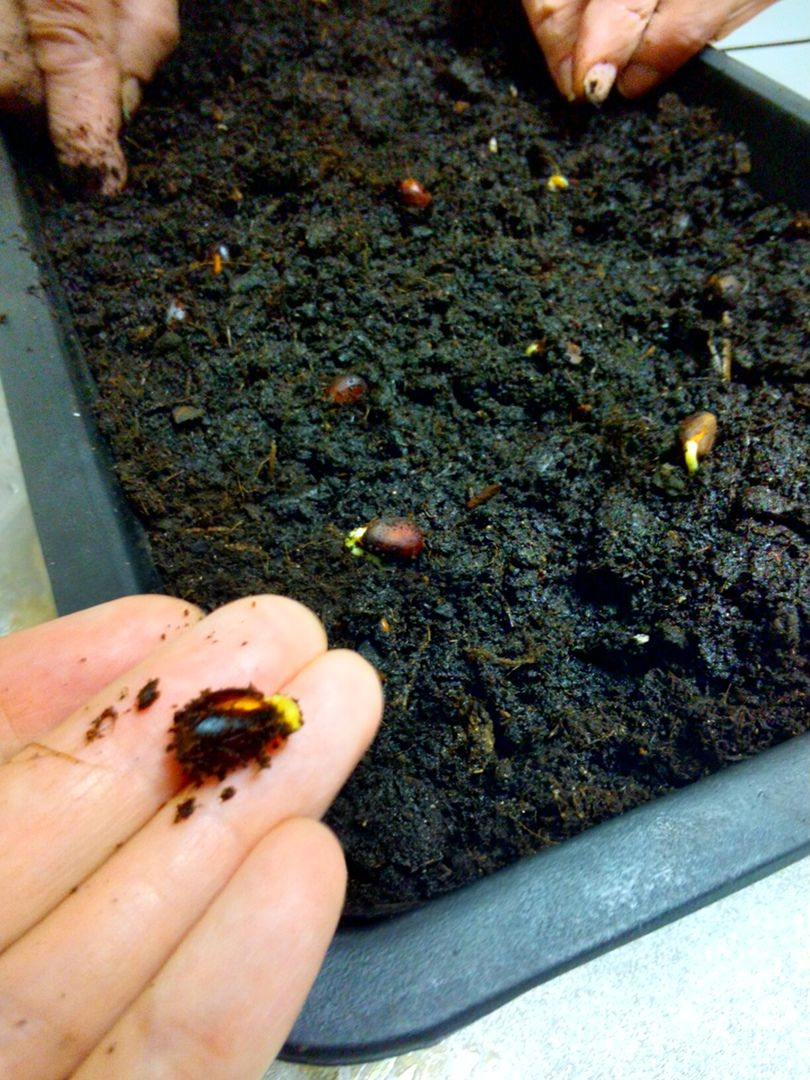 Опыт по выращиванию кедров от ПРП Благодарное (4).jpg