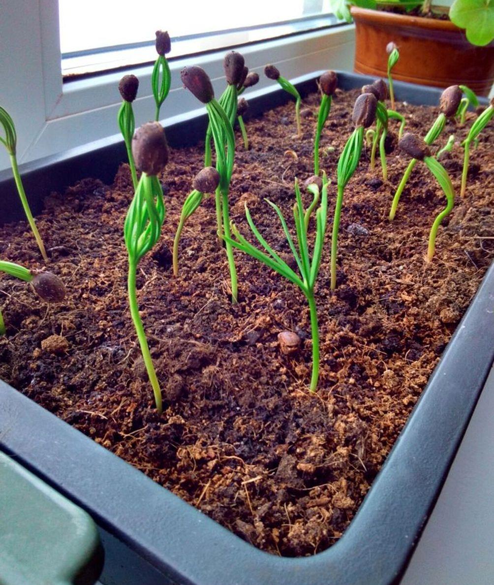 Опыт по выращиванию кедров от ПРП Благодарное (5).jpg